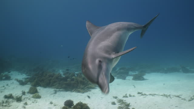 bottlenose dolphin swimming towards camera - dolphin stock videos & royalty-free footage