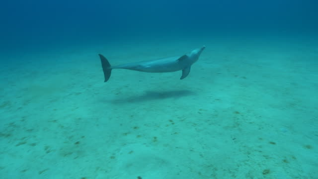 bottlenose dolphin (tursiops truncatus) swims., roatan island, honduras  - tursiope video stock e b–roll