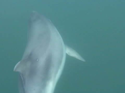 Bottlenose dolphin through calm water, surfaces to breath, MCU