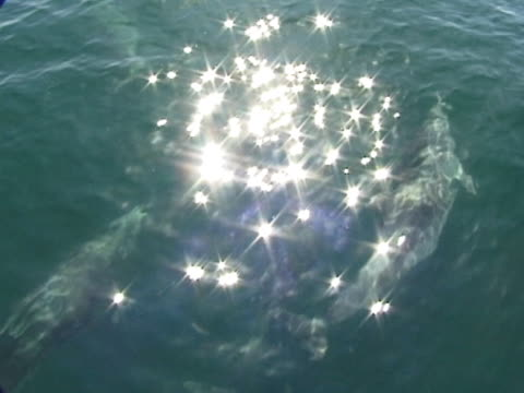 Bottlenose dolphin through surface - sparkly light, MS