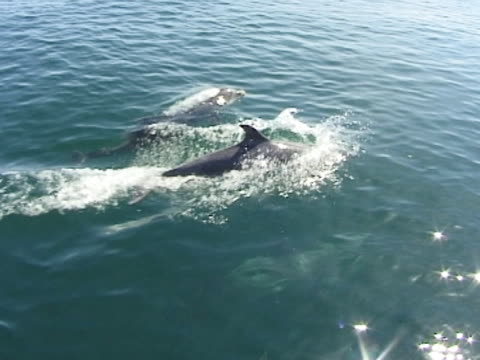 Bottlenose dolphin x2 surfacing at speed, MS, sparkly light