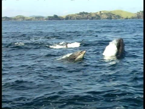 bottlenose dolphins, bay of islands - pov boat, ms group swim around, land & sea water horizon, sunny - bay of islands new zealand stock videos & royalty-free footage