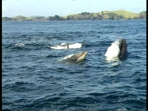 Bottlenose Dolphins, Bay of Islands - pov boat, MS group swim around, land & sea water horizon, sunny