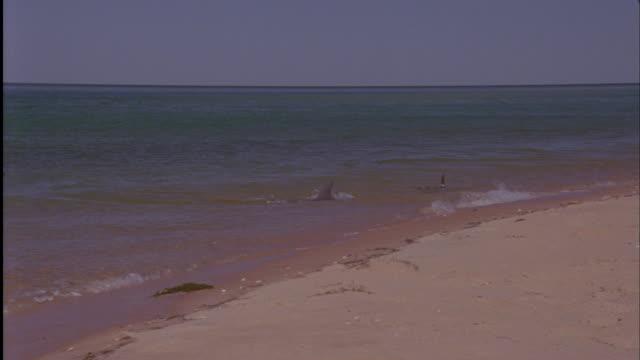 bottlenose dolphins (tursiops truncatus) hunt fish in shallows, shark bay, australia - bottle nosed dolphin stock videos & royalty-free footage
