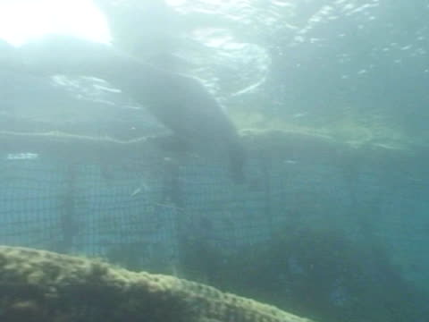 ms bottlenose dolphins in captive sea pen.. red sea, egypt - red sea stock videos & royalty-free footage