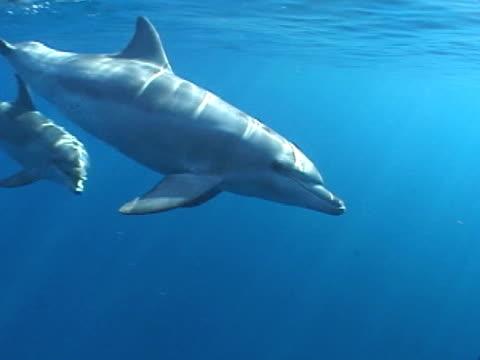 vidéos et rushes de bottlenose dolphins in open ocean - groupe moyen d'animaux
