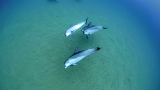bottlenose dolphins (tursiops) - mozambique - tursiope video stock e b–roll