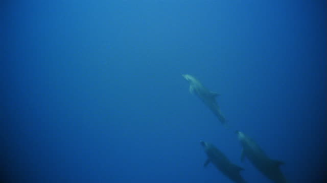 stockvideo's en b-roll-footage met ws, bottlenose dolphins swimming in ocean - cetacea