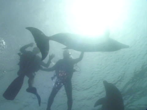 ms bottlenose dolphins with divers in captive sea pen. red sea, egypt - tauchgerät stock-videos und b-roll-filmmaterial