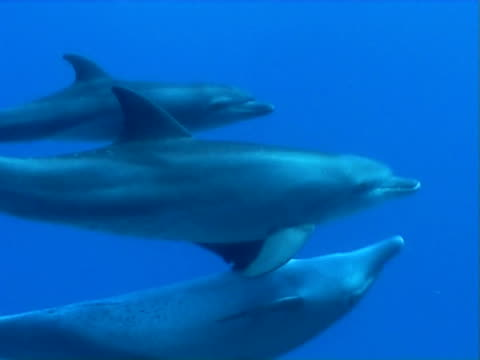 Bottlenose  dolphins x3 WS swimming belly to belly