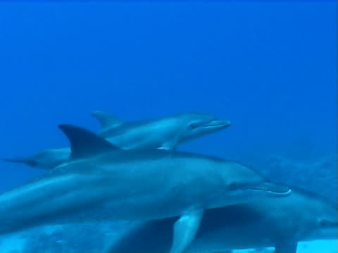Bottlenose dolphins x3 WS swimming