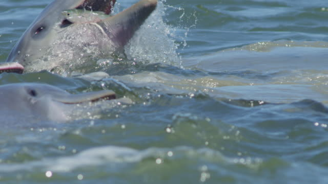 slomo cu bottlenosed dolphin catches a jumping mullet clear of the water - ambush stock videos and b-roll footage
