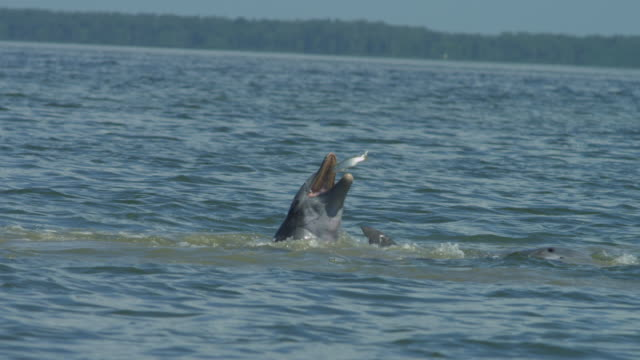 slomo cu bottlenosed dolphin catches a jumping mullet clear of the water - meeräsche stock-videos und b-roll-filmmaterial