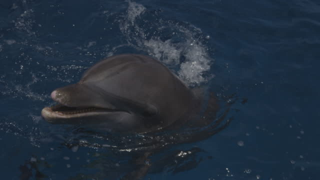 cu bottlenosed dolphin floating with head out of water then joined by second dolphin - tursiope video stock e b–roll