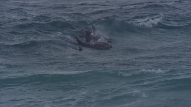 MS Bottlenosed Dolphin group surfing on small wave