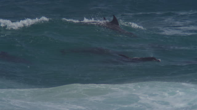MS Bottlenosed Dolphin group swimming through breaking waves