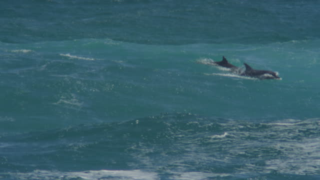 Bottlenosed Dolphin group swimming through surf