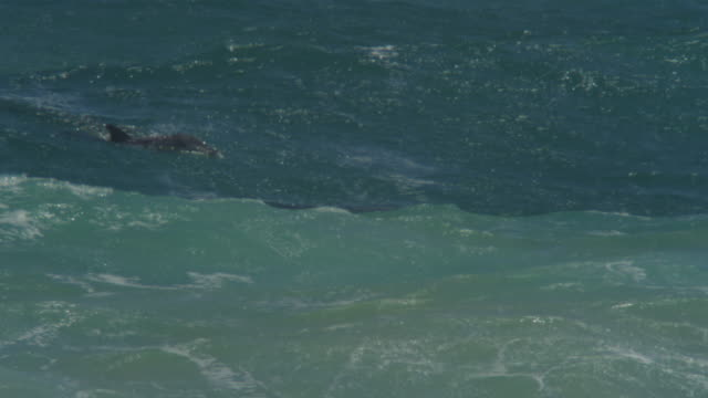 Bottlenosed Dolphin group with calf swimming through surf