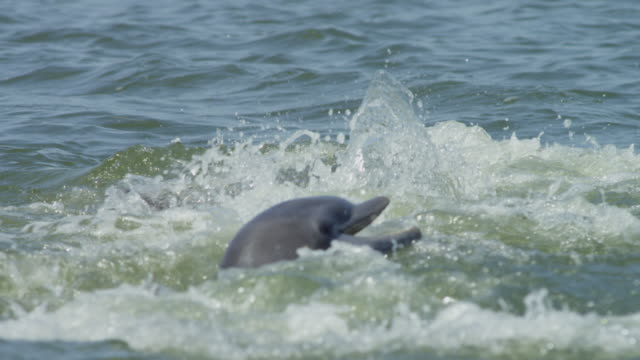 slomo cu bottlenosed dolphin jumps clear and catches a jumping mullet  - meeräsche stock-videos und b-roll-filmmaterial