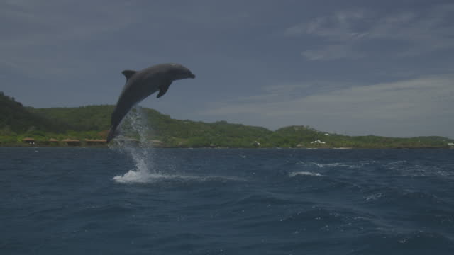 Bottlenosed Dolphin leaps in open sea with shoreline in background
