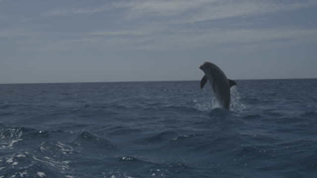 stockvideo's en b-roll-footage met slomo bottlenosed dolphin leaps out of water in open sea - dolfijn