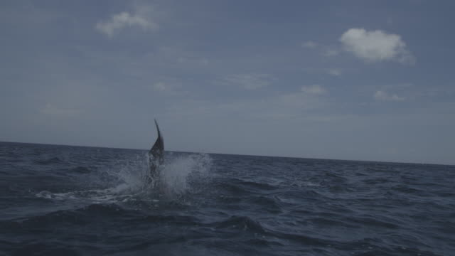 bottlenosed dolphin makes 2 leaps in open sea - jumping stock videos and b-roll footage