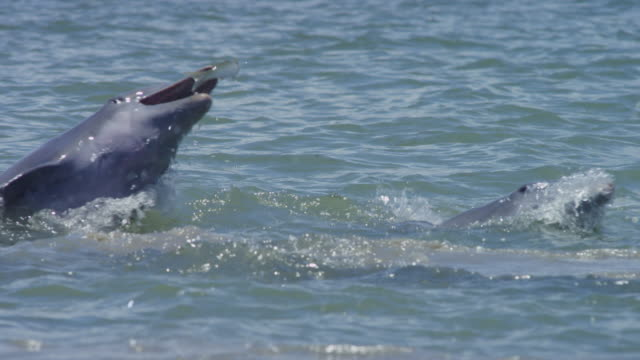 vidéos et rushes de cu bottlenosed dolphin positions to catch a jumping mullet - grand dauphin