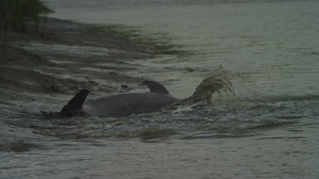 SLOMO MS Bottlenosed Dolphin stranded on mudbank then turns and swims away