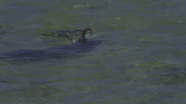 slomo cu bottlenosed dolphin swimming in shallows and tail slapping - lobtailing stock videos & royalty-free footage