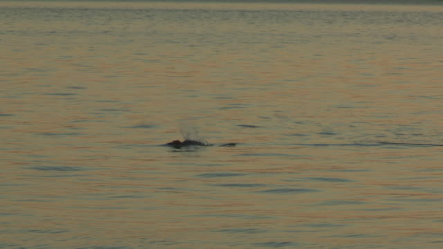 Bottlenosed Dolphin with brown sponge on its beak surfaces to breathe in evening light