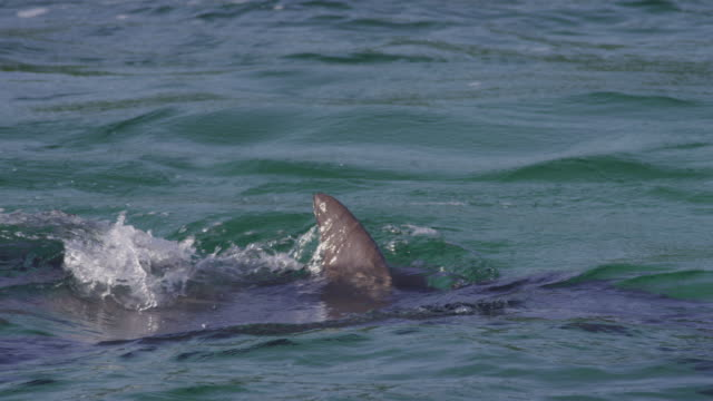 slomo cu bottlenosed dolphins courting with splashing and tail slap   - lobtailing stock videos & royalty-free footage