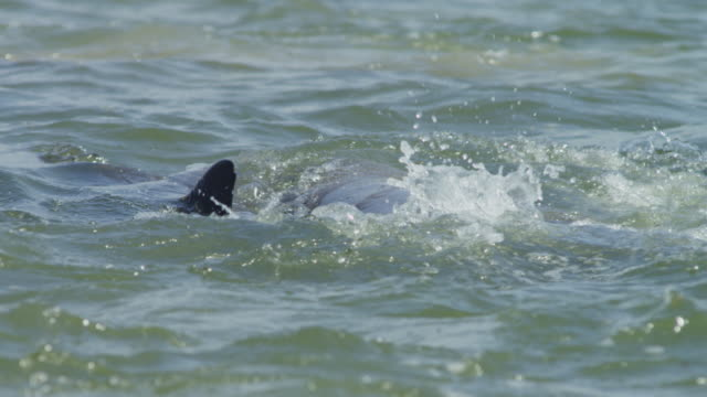 slomo cu bottlenosed dolphins on surface line up to catch jumping mullet - meeräsche stock-videos und b-roll-filmmaterial