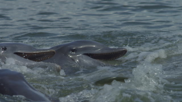 slomo cu bottlenosed dolphins on surface with jumping mullet in foreground - meeräsche stock-videos und b-roll-filmmaterial
