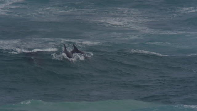 MS 4 Bottlenosed dolphins riding in waves