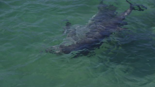 2 Bottlenosed Dolphins swim in mating position visible underwater in shallows