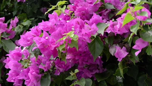 vídeos de stock, filmes e b-roll de cu bougainvillea flower is moving in wind (bougainvillea glabra) / lamai, ko samui, thailand    - arbusto tropical