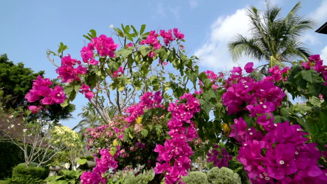 bougainvillea flower is moving in wind (bougainvillea glabra) - tropical bush stock videos and b-roll footage