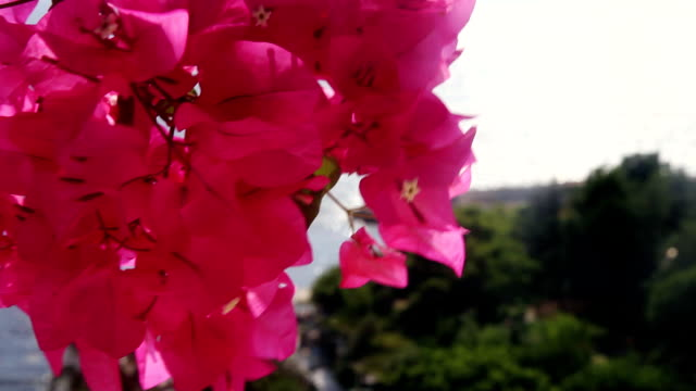 bougainvillea flowers and nature - mykonos stock videos and b-roll footage