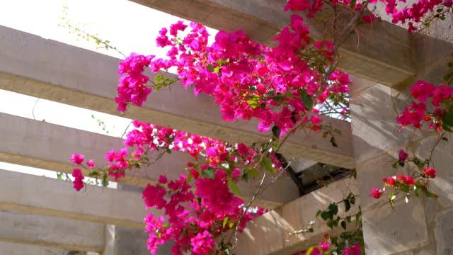 Bougainvillea flowers in bloom on the pergola in slow motion in 4k