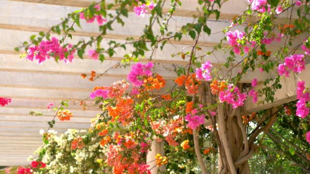Bougainvillea flowers in bloom on the pergole in slow motion in 4k