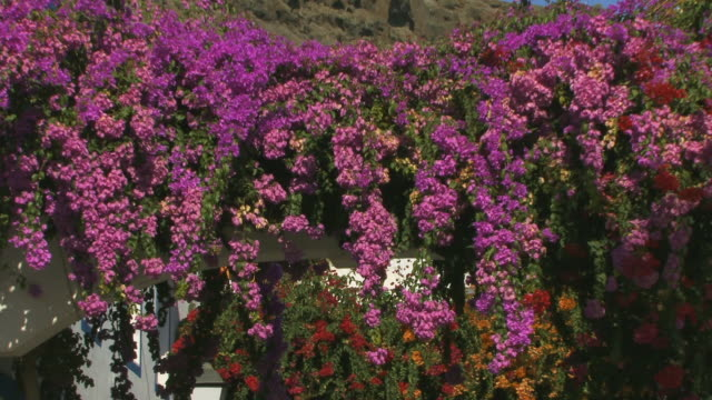 cu zo bougainvillea on archway between houses/ puerto de mogan, grand canary, canary islands - grand canary stock videos and b-roll footage