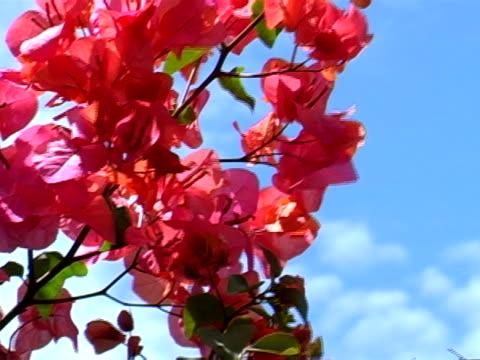 vídeos de stock, filmes e b-roll de bougainvillea - arbusto tropical