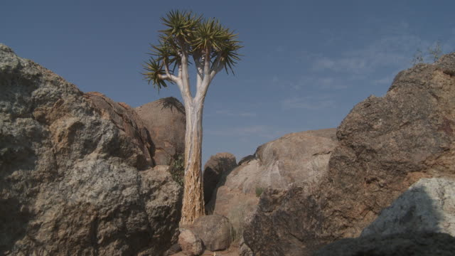 Boulders surround a quiver tree in an arid landscape.