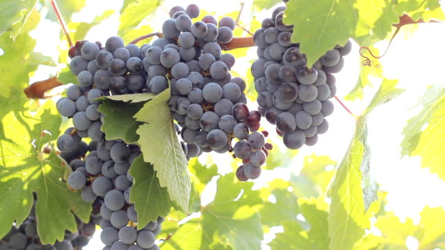 bountiful harvest of grapes