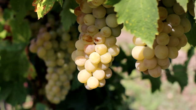 bountiful harvest of grapes - grape leaf stock videos and b-roll footage
