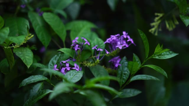 bouquet of purple flower on tree, blue sage, violet ixora - botanical garden stock videos & royalty-free footage
