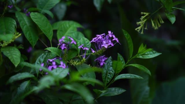 木の上に紫の花の花束、ブルーセージ、バイオレットイクソラ - 金管楽器点の映像素材/bロール