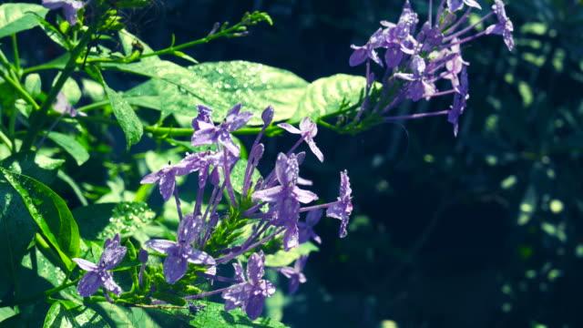 ツリーで、ブルー サルビア、バイオレット イクソラ紫色の花の花束 - ワスレナグサ点の映像素材/bロール