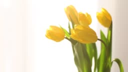 A bouquet of yellow tulip buds close-up on a white background near the window