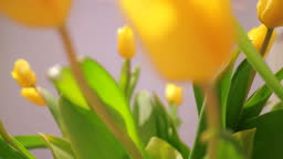 Bouquet of yellow tulips close up shot. Full hd video